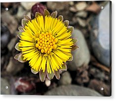 Yellow Coltsfoot Flower Acrylic Print by Christina Rollo