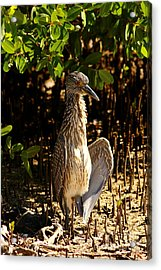 Yellow Crowned Night Heron Baby In The Mangroves Acrylic Print by Christiane Schulze Art And Photography