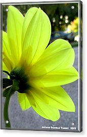 Yellow Dahlia Bloom Acrylic Print by Danielle  Parent