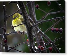 Yellow Finch Acrylic Print by Karen Wiles