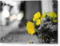 Yellow Flowers Acrylic Print by Nathan Hillis