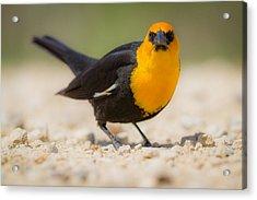 Yellow Headed Blackbird Acrylic Print by Chris Hurst