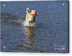 Yellow Lab Retrieving Toy Acrylic Print by Linda Freshwaters Arndt