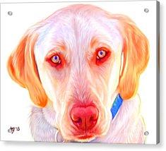 Yellow Labrador Dog Art With White Background Acrylic Print by Iain McDonald