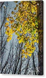 Yellow Leaves Acrylic Print by Carlos Caetano