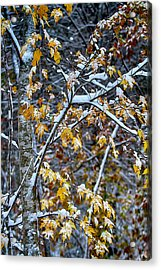 Yellow Maple And Snow Acrylic Print by John Haldane