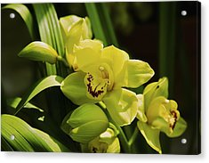 Yellow Orchid Acrylic Print by Terry Horstman
