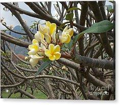 Yellow Plumeria  Acrylic Print by Mindy Sue Werth