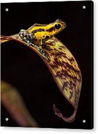 Yellow Poison Arrow Frog Acrylic Print by Dirk Ercken