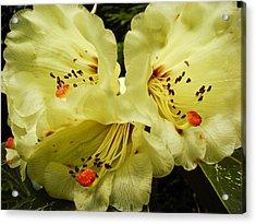 Yellow Rhodies Acrylic Print by Ronda Broatch