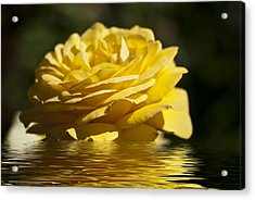Yellow Rose Flood Acrylic Print by Steve Purnell