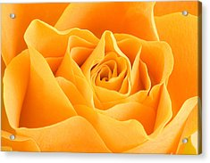 Yellow Rose Acrylic Print by Tilen Hrovatic