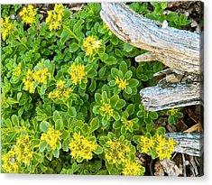 Yellow Sedum Ala Drift Acrylic Print by Randy Rosenberger