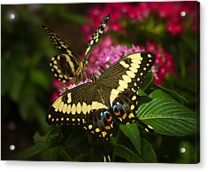 Yellow Swallowtail Butterflies  Acrylic Print by Saija  Lehtonen