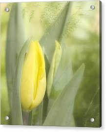 Yellow Tulip Bud Acrylic Print by Kim Hojnacki