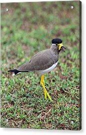 Yellow-wattled Lapwing Acrylic Print by Peter J. Raymond