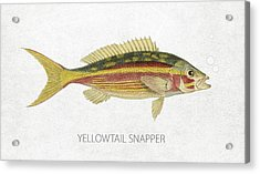 Yellowtail Snapper Acrylic Print by Aged Pixel