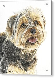 Yorkie In Color Acrylic Print by Kate Sumners