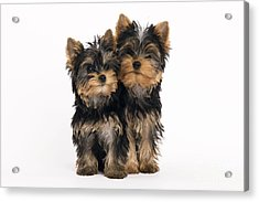 Yorkie Puppies Acrylic Print by Jean-Michel Labat