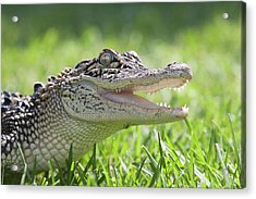 Young Alligator With Mouth Open Acrylic Print by Piperanne Worcester