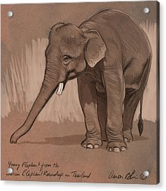 Young Asian Elephant Sketch Acrylic Print by Aaron Blaise