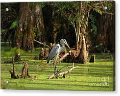 Young Blue Heron Acrylic Print by Theresa Willingham