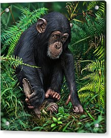 Young Chimpanzee With Tool Acrylic Print by Owen Bell