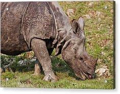 Young One-horned Rhinoceros Feeding Acrylic Print by Jagdeep Rajput