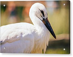 Young Stork Portrait Acrylic Print by Pati Photography
