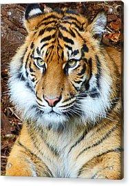 Young Sumatran Tiger Acrylic Print by Margaret Saheed