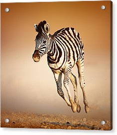 Zebra Calf Running Acrylic Print by Johan Swanepoel