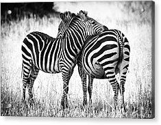 Zebra Love Acrylic Print by Adam Romanowicz