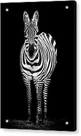 Zebra Acrylic Print by Paul Neville