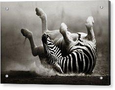 Zebra Rolling Acrylic Print by Johan Swanepoel