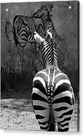 Zebra Acrylic Print by Veronika Limonov