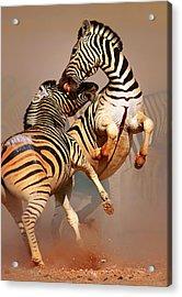 Zebras Fighting Acrylic Print by Johan Swanepoel