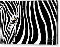 Zebressence Acrylic Print by Dan Holm
