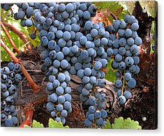 Zinfandel Wine Grapes Acrylic Print by Charlette Miller