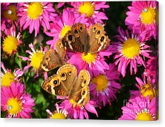 3 Beauty's Butterflies On Mum Flowers Acrylic Print by Peggy  Franz