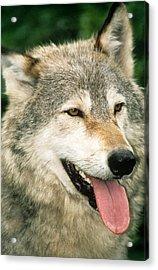 Happy Gray Wolf Acrylic Print by Larry Allan