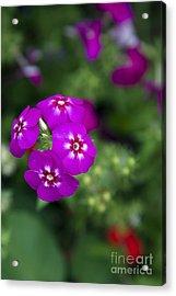Pretty Flower Acrylic Print by Patty Malajak