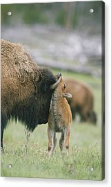 A Female Bison Bison Bison Stands Acrylic Print by Tom Murphy