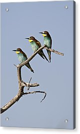 A Group Of Bee-eaters Resting On Branch Acrylic Print by Roy Toft