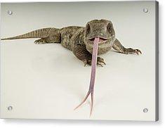 A Savanna Monitor Lizard Varanus Acrylic Print by Joel Sartore