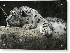 A Snow Leopard Takes Time Out To Rest Acrylic Print by Jason Edwards