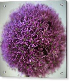 Allium Flower (allium Sp.) Acrylic Print by Cristina Pedrazzini