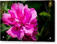 Althea Blossom Acrylic Print by Barry Jones