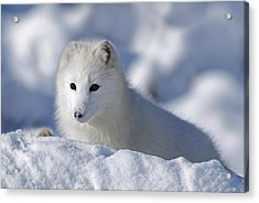 Arctic Fox Exploring Fresh Snow Alaska Acrylic Print by David Ponton