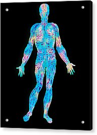 Artwork Of The Human Venous System (from Vesalius) Acrylic Print by Mehau Kulyk