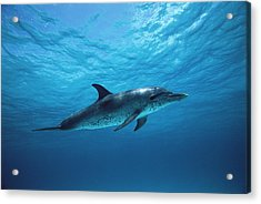 Atlantic Spotted Dolphin Stenella Acrylic Print by Todd Pusser